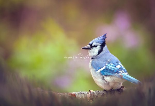 blue jay and flowers