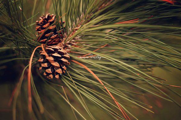 pin cones
