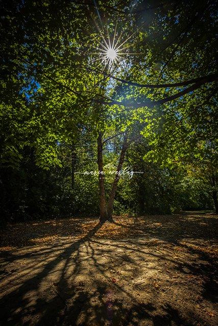 sunburst in tree